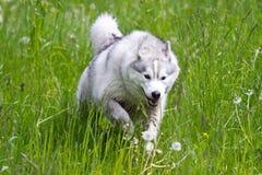 Husky running. A husky runs through a lush green field of spring grass Stock Photo