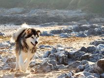Husky running on a Welsh beach Royalty Free Stock Photos