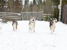 Husky running in winter Stock Images