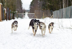 Husky running in winter. In the forest on snow backgound Stock Photography