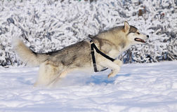 Husky runs Stock Photography