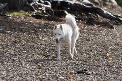Husky runs on stones. Royalty Free Stock Image