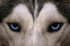 Husky's blue look. Close view of blue eyes of an Husky or Eskimo dog royalty free stock photography