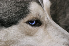 Husky's blue look. Siberian Husky,It's so lovely stock images