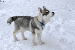 Husky& x27;s dog waits for the owner Royalty Free Stock Images