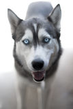 Husky's gaze. Beautiful Husky's blue eyed gaze Royalty Free Stock Images