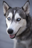 Husky. 's intent blue eyed gaze Stock Photos