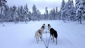Husky dog sled in Lappland stock footage