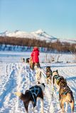 Husky safari. Husky dogs are pulling sledge with family on sunny winter day in Northern Norway Royalty Free Stock Image