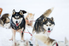 Husky safari Stock Images