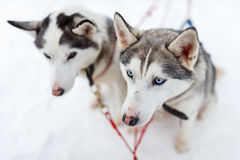 Husky safari Royalty Free Stock Photography