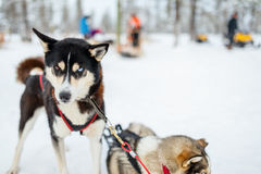 Husky safari Stock Photography