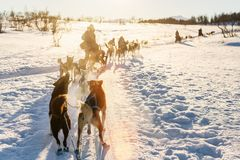 Husky safari. Sledding with husky dogs in Northern Norway Royalty Free Stock Images