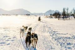 Husky safari. Sledding with husky dogs in Northern Norway Stock Image