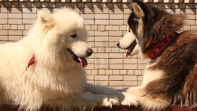 Husky and Samoyed dogs. Husky and Samoyed dog lying on sports equipmentky stock footage