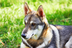 Husky seating on green gras Royalty Free Stock Photo