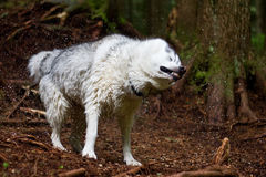 Husky Shaking off. A husky shaking water off on a hike in the woods Royalty Free Stock Image
