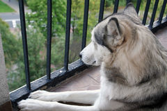 Husky in shelter. Dog in shelter for dogs Stock Photos
