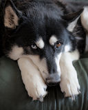 Husky Shepherd Dog Royalty Free Stock Image