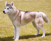 The Husky Royalty Free Stock Images