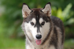husky siberian royaltyfri bild