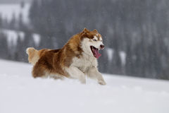 husky siberian Royaltyfria Bilder