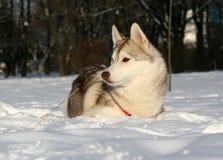 husky siberian Royaltyfria Foton