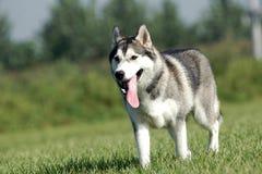 husky siberian royaltyfri fotografi