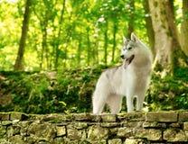 husky siberian arkivfoto