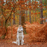 husky siberian Arkivbilder