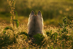 husky siberian Arkivfoton