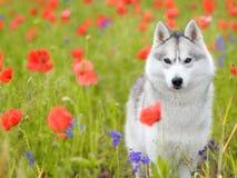 husky siberian royaltyfri foto