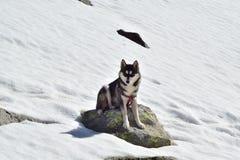 husky siberian Arkivbild