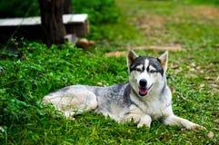 husky siberian för hund Fotografering för Bildbyråer
