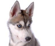 husky siberian för hund Arkivbild