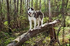 husky siberian för hund royaltyfria foton