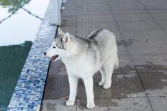 husky siberian för hund arkivfoton