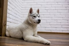 Husky. Siberian husky puppy at home lying on the floor. lifestyle with dog Stock Photography