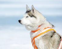 husky siberian sled för hund Arkivfoton