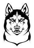 Husky. Siberian husky on a white background Royalty Free Stock Image
