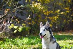 Husky siberiano immagini stock libere da diritti