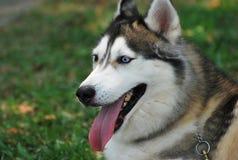 Husky siberiano immagine stock