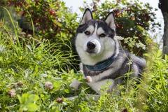 Husky siberiano Fotos de archivo libres de regalías