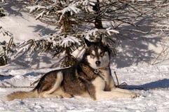 Husky siberiano Fotografia Stock