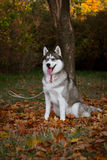 Husky siberiano Fotografía de archivo