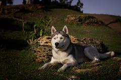 Husky siberiano Imágenes de archivo libres de regalías