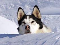 Husky siberiano Fotografie Stock