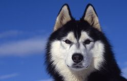 Husky siberiano immagine stock libera da diritti