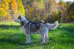Husky siberiano Fotografie Stock Libere da Diritti