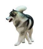 Husky siberiano aislado en blanco Imagen de archivo libre de regalías